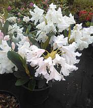 Рододендрон 'Cunningham's White'/Rhododendron 'Cunningham's White' (С3), фото 3
