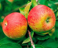 Саженцы яблони Топаз (зима)