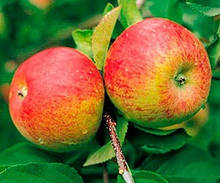 Саджанці яблуні Топаз (зима)
