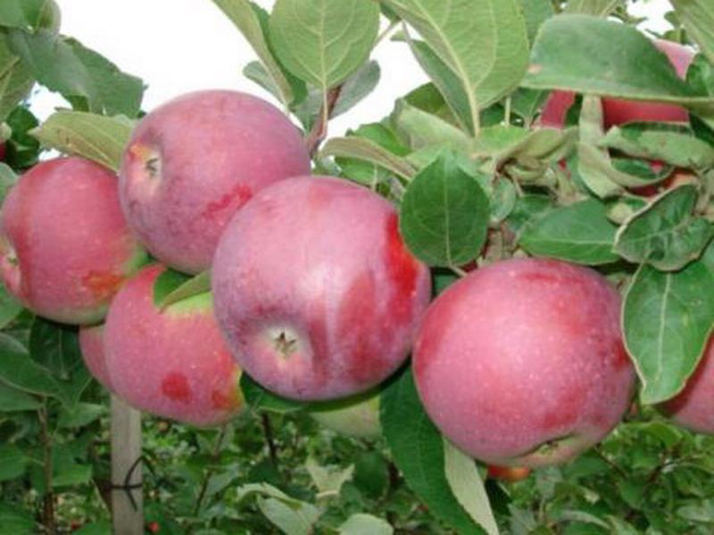 Саджанці яблуні Мантуанске ( осінь)