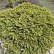 Ель обыкновенная Нидиформис (Picea abies Nidiformis), фото 2
