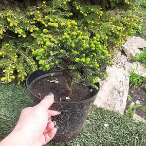 Ель обыкновенная Нидиформис (Picea abies Nidiformis)