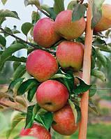 Яблуня колоновидна Останкіно, фото 1