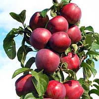 Саджанці колоновидної яблуні Арбат (2 сорт)