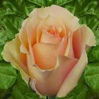 Роза Версилия (Versilia) саженец в горшке или паете