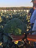 Семена капусты Ларсон ( Larsson RZ)  F1  2500 семян, фото 3