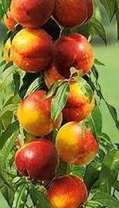 Колоновидный нектарин Рубис