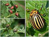 Инсектицид от колорадского жука Т2 100мл, фото 2