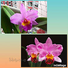 Орхидея Blc. Chian-Tzy General 'CT-Tony'