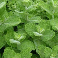 Мята Барбарисовая (Mentha spicata  Вarberry)(Контейнер Р9 - 0,5л)