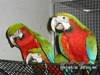 Попугаи Ара Арлекин-гибриды.
