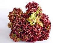 Салат листовой красный Росса