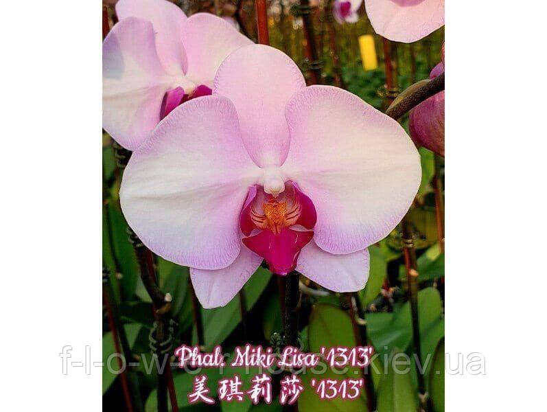 Орхидея Phal. Miki Lisa '1313'