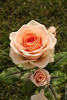Саженцы персиковой розы