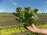 Насіння салату Бацио, 1000 насіння, фото 2