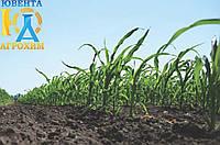 Перше позакореневе підживлення кукурудзи