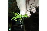 Шпильки JBL Plantis для фіксації рослин у ґрунті, фото 2