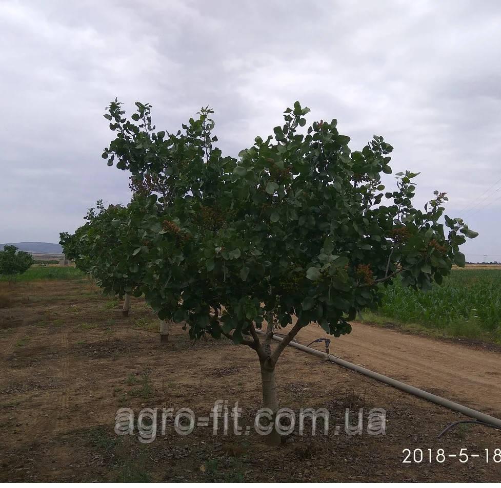 Саженцы фисташки (Pistacia vera)