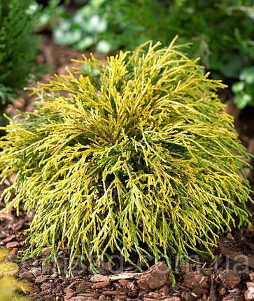 Кипарисовик горохоплодный Filifera Aurea ( р9 12-15см саженцы), фото 2