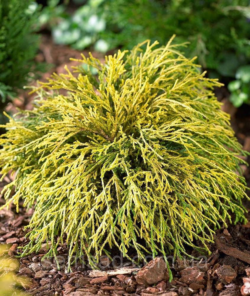 Кипарисовик горохоплодный Filifera Aurea ( С1.5л 17-23см саженцы)