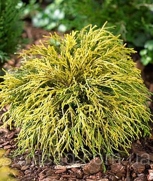 Кипарисовик горохоплодный Filifera Aurea ( С1.5л 17-23см саженцы), фото 2
