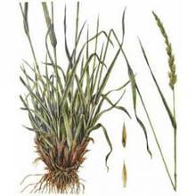 Семена злаковых многолетних трав