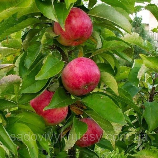 Яблуня колоновидна Арбат  (саджанці)