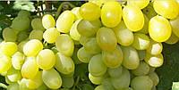 Богатяновский, саженцы раннего винограда