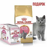 Сухой корм Роял Канин (Royal Canin) для котят British Shorthair, 2 кг + 3 пауча