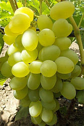 Виноград Элизавета  (2-4 л)