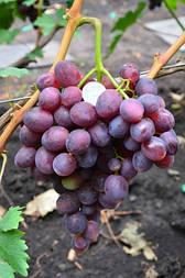Виноград Тюльпан  (2-4 л)