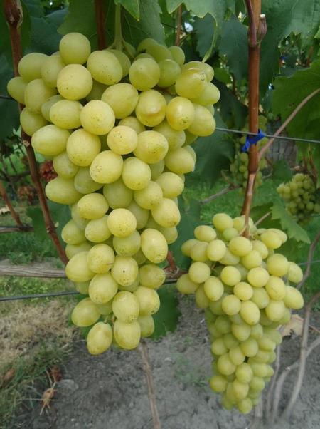 Виноград Слава Україні (2-4 л)