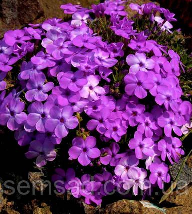 Флокс альпийский Дугласа - Эва ( Новинка ), фото 2