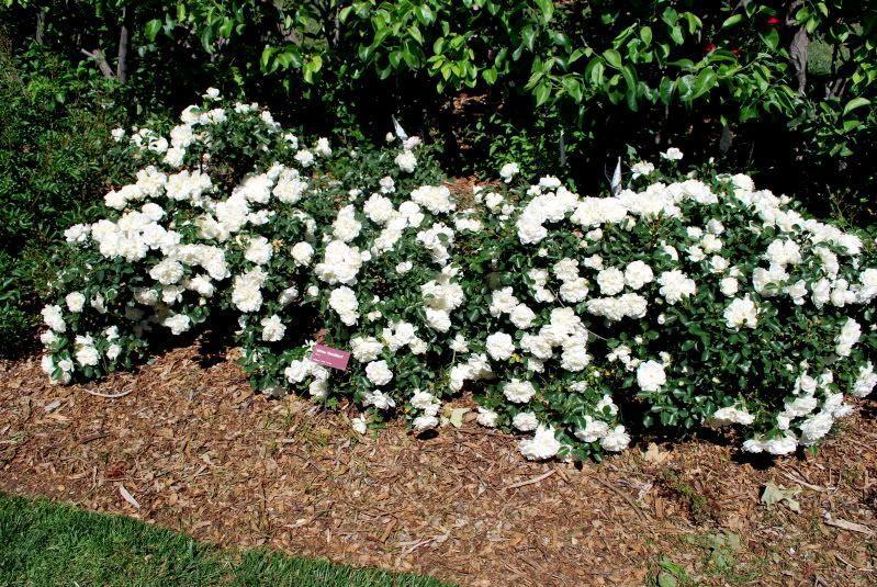 Роза Вайт Мейдиланд (White Meidiland) Почвопокровная