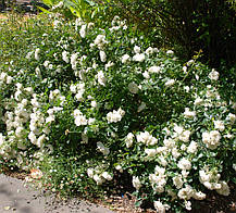 Роза Вайт Мейдиланд (White Meidiland) Почвопокровная, фото 3