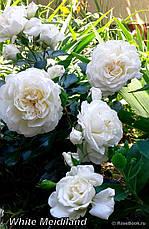 Роза Вайт Мейдиланд (White Meidiland) Почвопокровная, фото 2