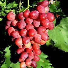 Виноград Красный палец