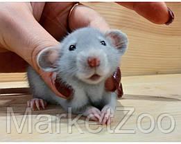 """Крыски дамбо,девочки и мальчик,возраст 1 мес.,окрас """"голубой"""", фото 3"""