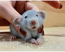 "Крыски дамбо,окрас ""голубой"",девочка,возраст 1,5 мес.,, фото 3"