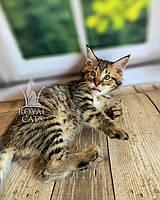 Котёнок Чаузи Ф2 (white collar) дата рождения 27.03.2020. Питомник Royal Cats. Украина, Киев, фото 1
