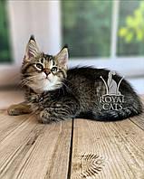 Кошечка Чаузи Ф2 (pink collar) дата рождения 27.03.2020. Питомник Royal Cats. Украина, Киев, фото 1
