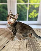 Кошечка Чаузи Ф2 (orange collar) дата рождения 27.03.2020. Питомник Royal Cats. Украина, Киев, фото 1