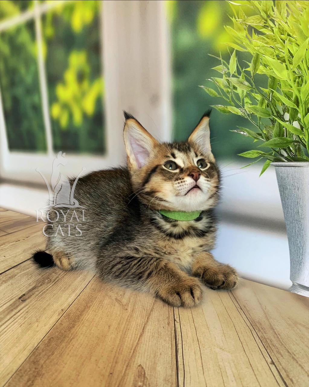 Котёнок Чаузи Ф2 (green collar) дата рождения 27.03.2020. Питомник Royal Cats. Украина, Киев