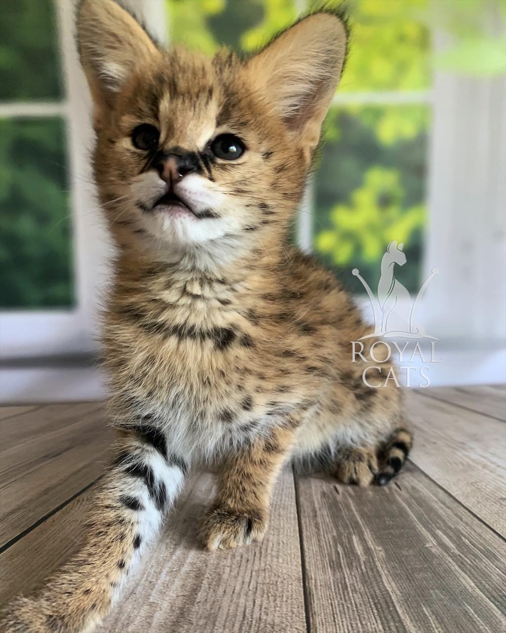 Котёнок Сервал, дата рождения 29.03.2020. Питомник Royal Cats. Украина, Киев
