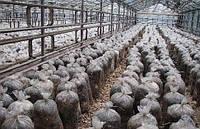 Какие грибы выращивать в теплице?