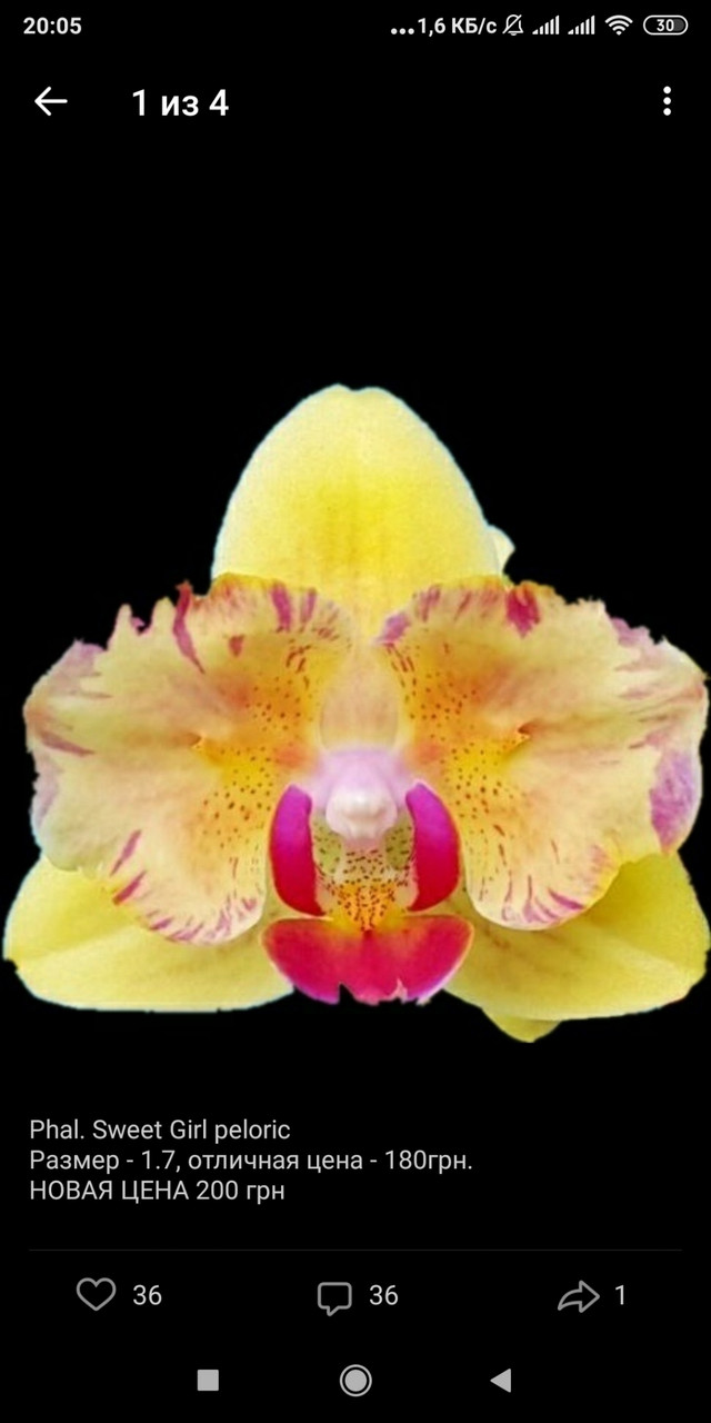 Орхидея подросток. Сорт Sweet girl peloric, размер 1.7 без цветов