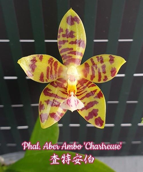 """Орхидеи Сорт Phal. Aber Ambo Chartreuse горшок 2.5"""" без цветов"""