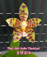 """Орхидеи Сорт Phal. Aber Ambo Chartreuse горшок 2.5"""" без цветов, фото 1"""