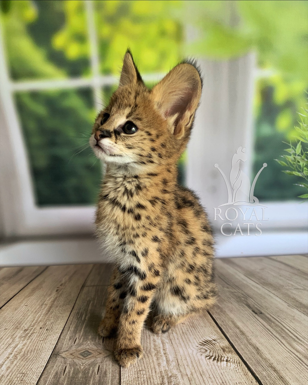 Кошечка Сервал, дата рождения 29.03.2020. Питомник Royal Cats. Украина, Киев