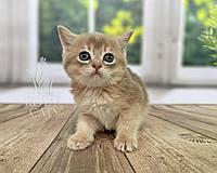 Шотландская прямоухая кошечка (серый ошейник) д.р. 30/03/2020. Питомник Royal Cats. Украина, г. Киев, фото 1